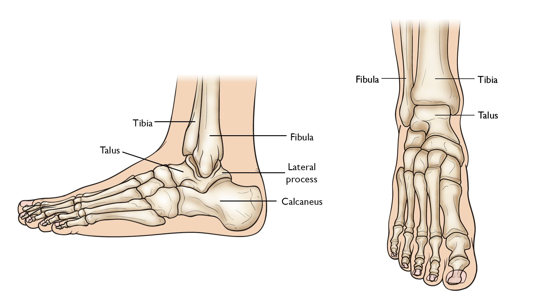 Normal foot and ankle anatomy