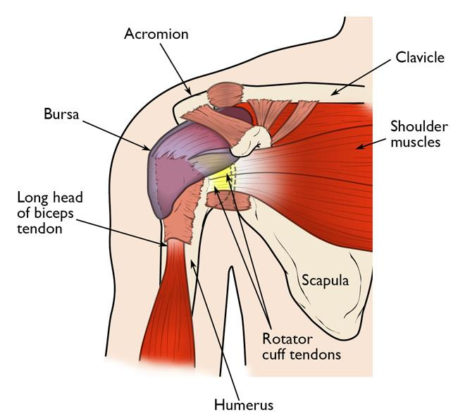 Normal shoulder anatomy, including the rotator cuff tendons