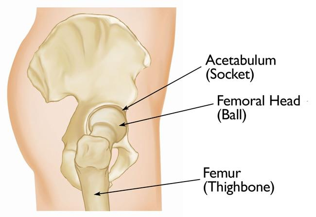 Normal hip anatomy, side view