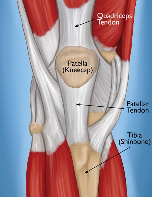 normal knee anatomy