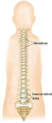 Front view of the spine